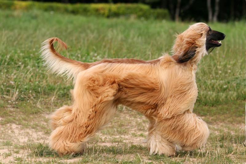 Top Ten Dumbest Dog Breeds