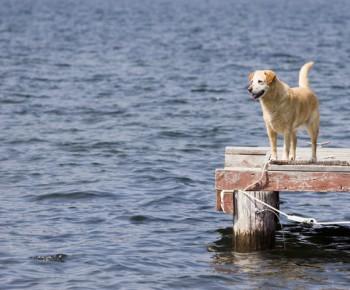 Dock jumping dog