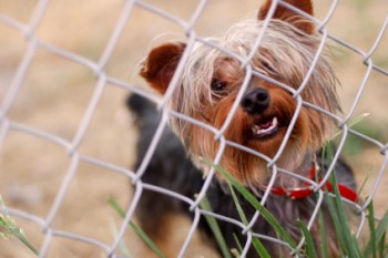yorkie-in-fence