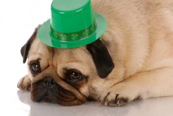 St Paddys Dog