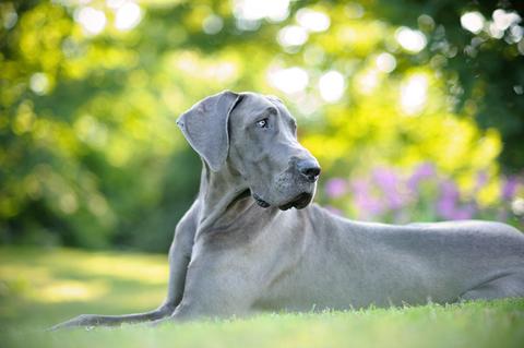 Tuesday Top Ten: XL Dog Breeds