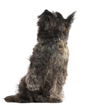 A Cairn Terrier