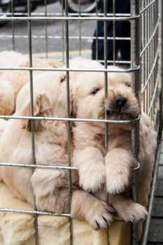 http://www.dreamstime.com/royalty-free-stock-photo-puppies-inside-cage-sale-display-image30587425