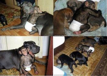 Chimp puppy