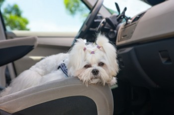 http://www.dreamstime.com/stock-photography-dog-car-little-cute-maltese-front-seat-image31723682
