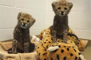 Cheetahs