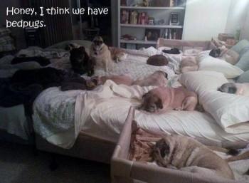 Bed Pugs