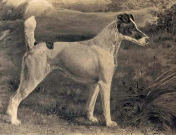 The winner from 1907, 1908, 1909 - Ch Warren Remedy, Fox Terrier (Smooth) / WKC Archives