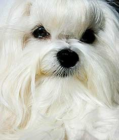 Maltese Dog Close-Up