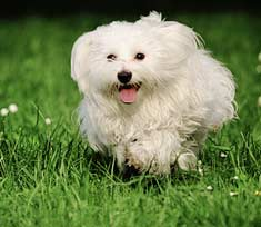 Maltese Dog Running