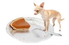 Little chihuahua dog standing on pie tin staring at the last pumpkin piece at thanksgiving