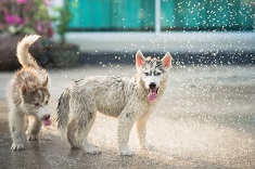 Husky puppies cooling off in spraying water